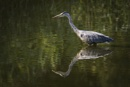 Stalking Heron by BydoR9