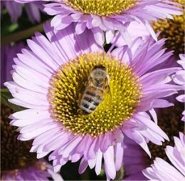 The pollen collector