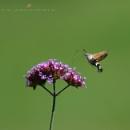 moth by senn