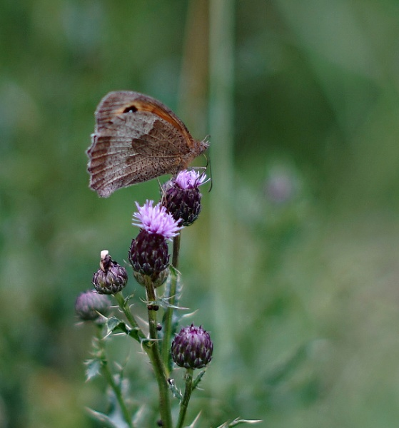 Meadow Brown on creeping thistle by civitas
