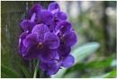 Purple Vanda orchids by ColleenA