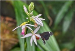 Meadow swallowtail