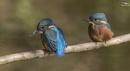 Juvenile Kingfishers by mufftrix
