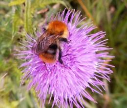 bee on thistle flower