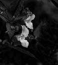Flower study by PCarman