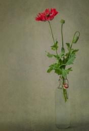 Papaver Somniferum 'Crimson Bowl'