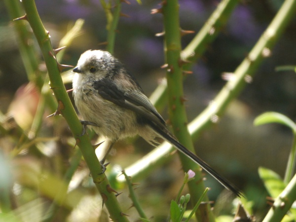 Long-tailed tit by DerekHollis