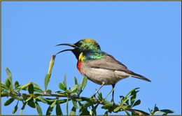 Greater double collared sunbird