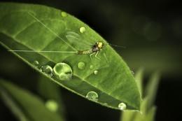Medium Olive Mayfly
