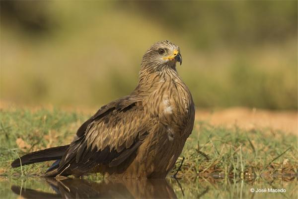 Black kite (Milvus migrans) by lord_macedo