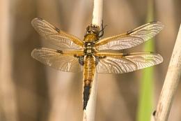 Four-spot chaser--Libellula quadrimaculata