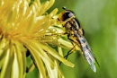 Hoverfly by bobpaige1