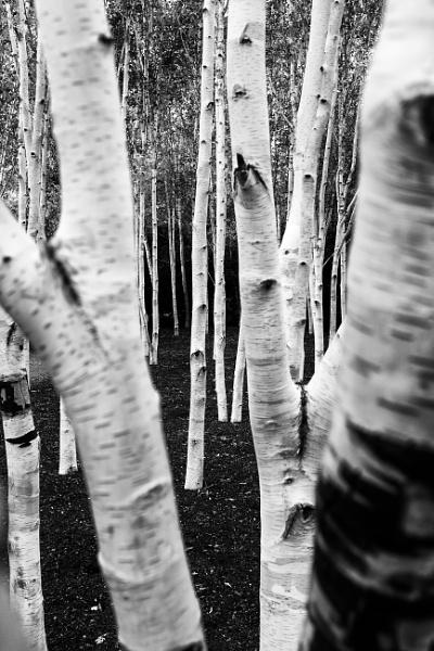 Silver Birches - Again by NevJB