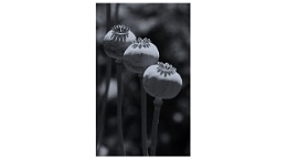 Photo : Poppy Heads