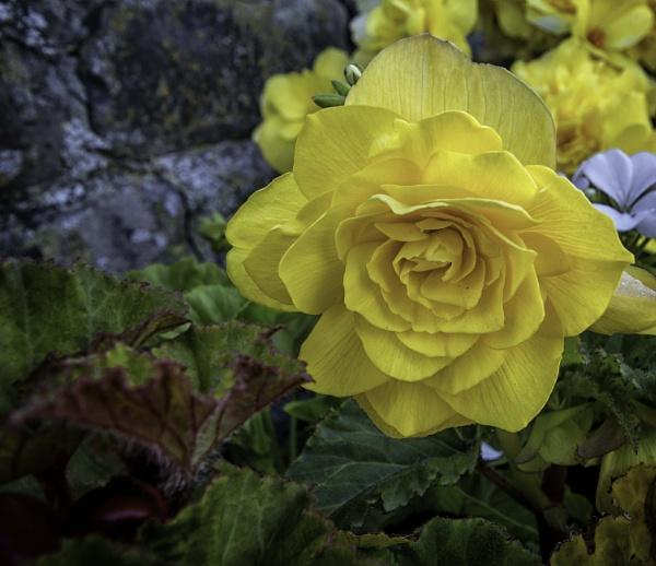 Begonia by BillRookery