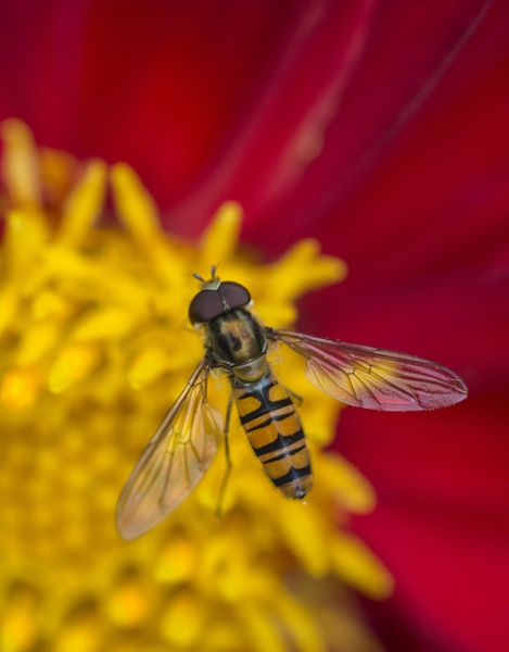 Hover Fly by BigAlKabMan