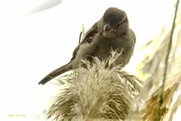 Wee Cock Sparrow.