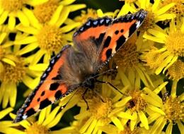 """Small Tortoiseshell Butterfly""."