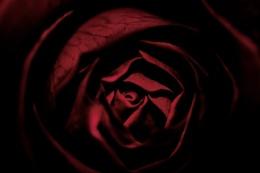 Photo : Polish rose