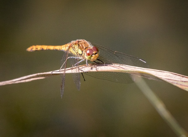 Another dragonfly by Bigpoolman