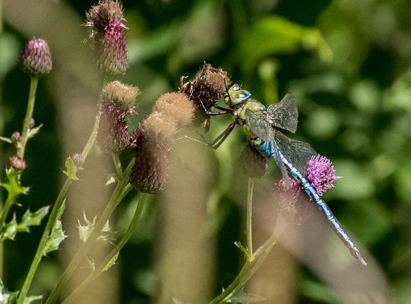Dragonfly by Bigpoolman