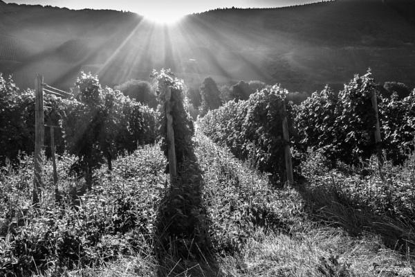 Mosel vineyard by joop_