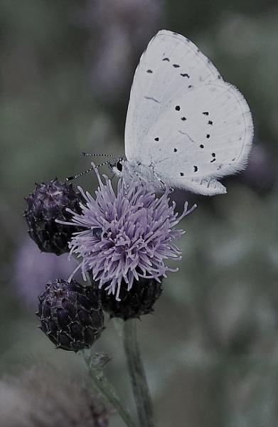 White Prince by PentaxBro