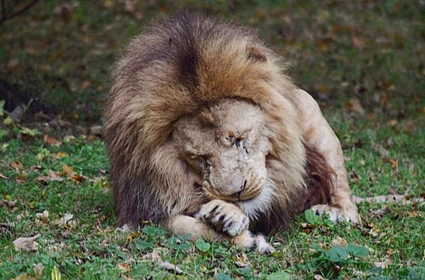 Lion by Danielle1487
