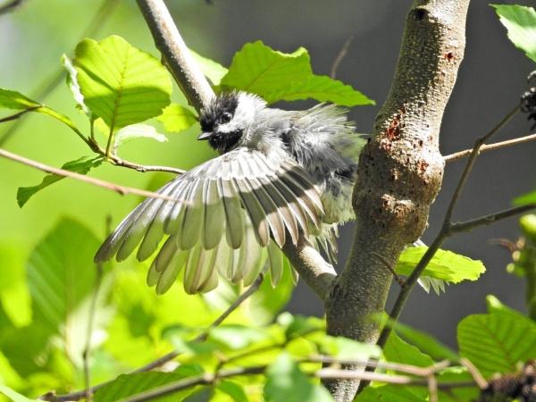 Chickadee wings spread