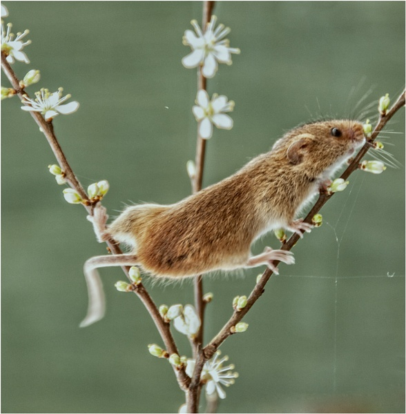 Harvest Mouse by dven