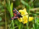 Six Spot Burnet Moth by MalcolmM