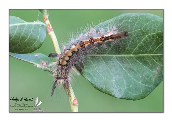 Vapourer Moth Caterpillar by Philh04