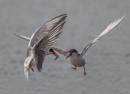 Feeding Terns by PLCimagery
