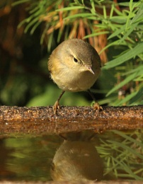Reflected chiffchaff