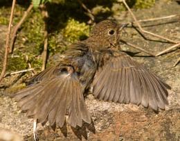 Sunbathing juvenile robin
