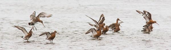 Black tailed godwits by oldgreyheron