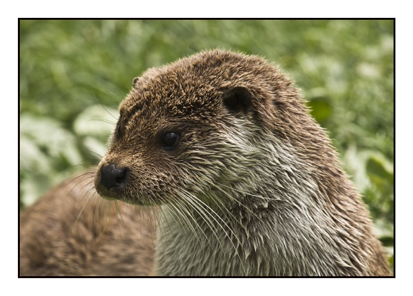 Asian short clawed Otter by Maiwand
