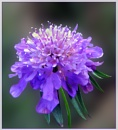 Scabious by Sylviwhalley