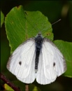 Small White-Pieris rapae. by Badgerfred