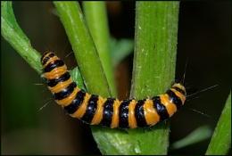 Cinnabar Moth Caterpillars.