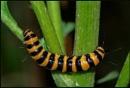 Cinnabar Moth Caterpillars. by Badgerfred