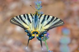 Photo : Scarce Swallowtail