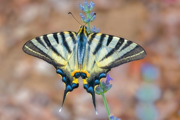 Scarce Swallowtail by BobA