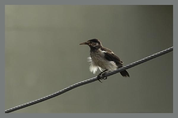 Starling Chick by prabhusinha