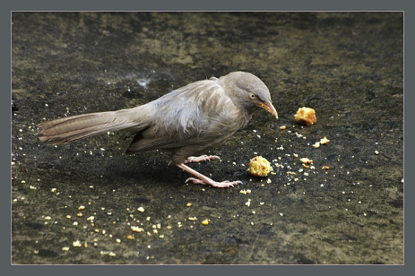 Common Bablar ( T eaudatus ) by prabhusinha