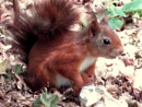 Red Squirrel by SUE118