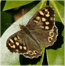 Speckled Wood by HobbitDave