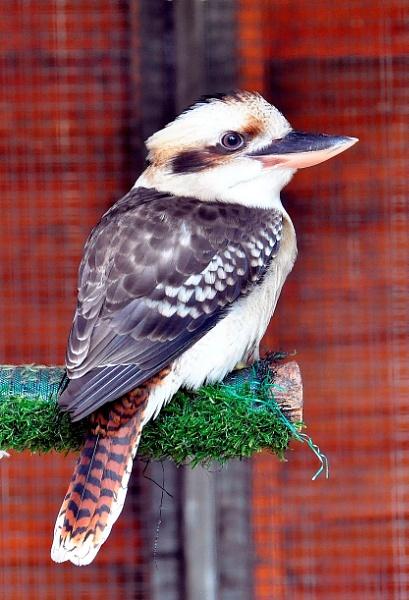 Kookaburra by peterthowe