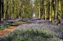 Ashriodge Bluebells by peterthowe