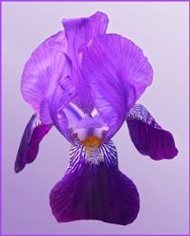 Purples A'plenty!